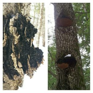 chaga and phellinus comparison