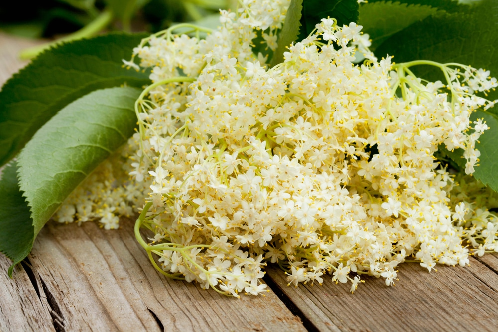 elderflower close up