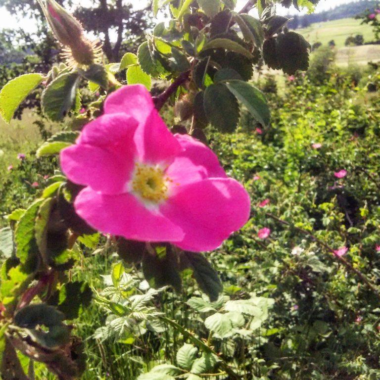 wild roses, Nootka rose, rosa nutkana