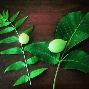 Black and English walnuts leaf and nut