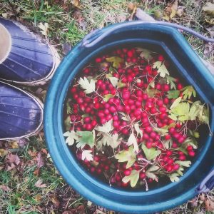 freshly harvested hawthorn berries