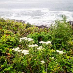 coastal yarrow