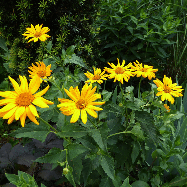 arnica - growing medicinal herbs
