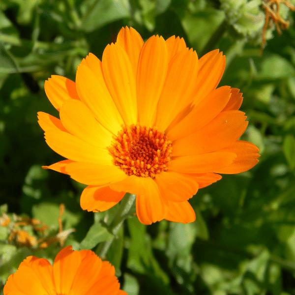 calendula - medicinal plants