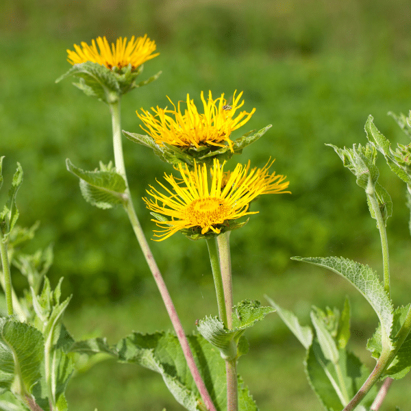 elecampane - growing herbs for medicine