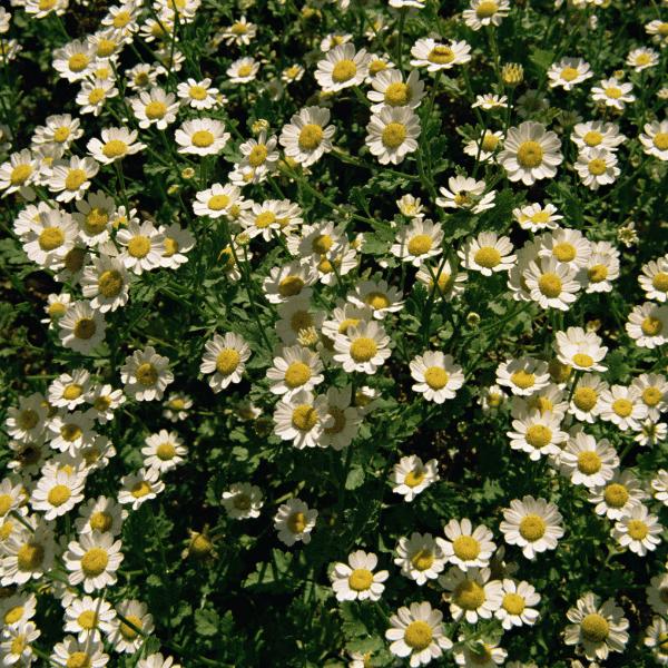 feverfew - herb garden