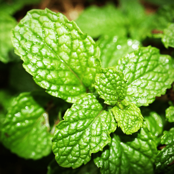 peppermint - herb garden