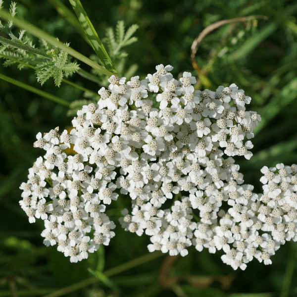 yarrow - growing herbs for medicine
