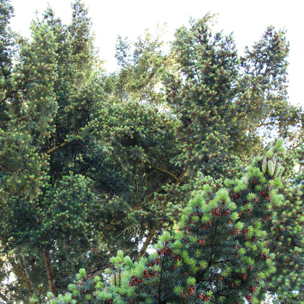 douglas fir canopy