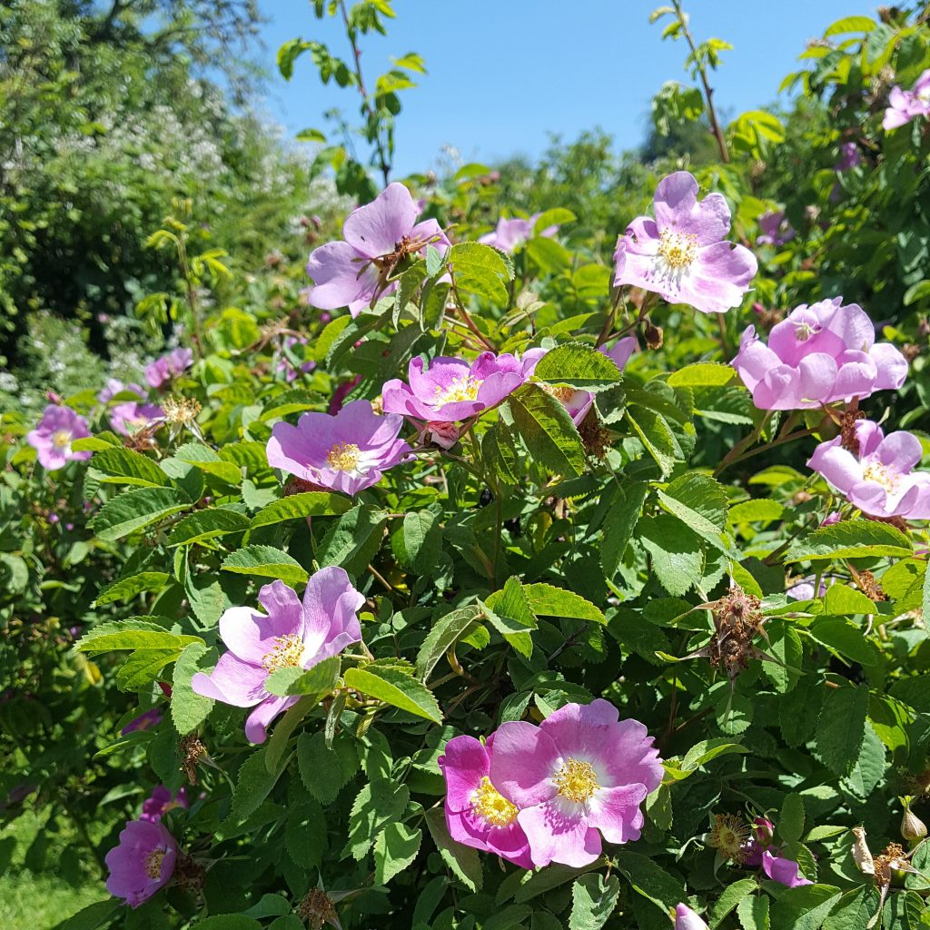 wild roses nootka rose