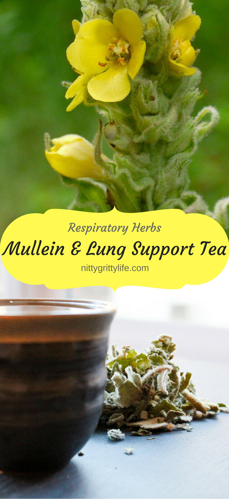 Mullein is a common and easy to identify wild herb possessing an abundance of medicinal benefits with a particular affinity for the respiratory system.
