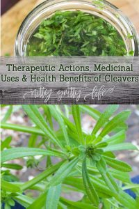 Cleavers well known medicinal herb (and sticky garden weed) that offers great benefit for the urinary and lymphatic system. Make a cleavers tincture to address boggy and cystic conditions such as retained water, cystic acne and fibrous breast tissue.