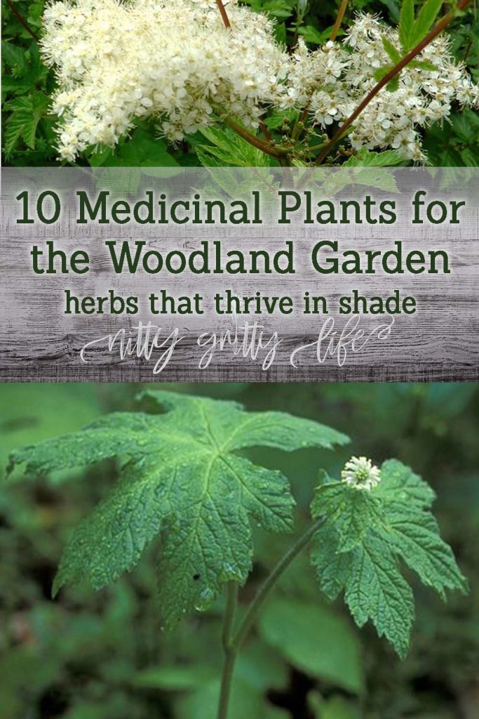 Herbs that Grow in Shade: Goldenseal, Meadowsweet, and more