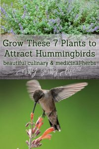 Herbs to Attract Hummingbirds