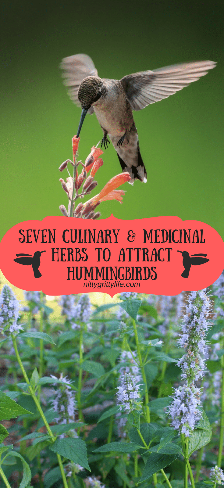 Hummingbirds are a salve for the soul.  Make your garden pull double duty by planting these culinary and medicinal herbs that also attract hummingbirds! #hummingbirds #pollinators #gardening #medicinalherbs