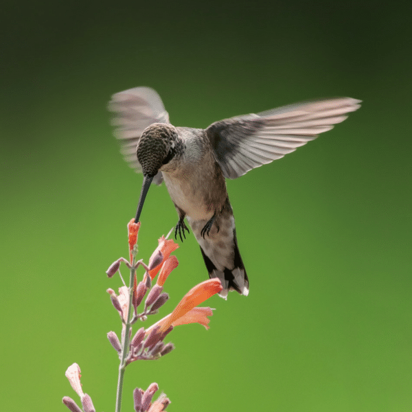 How to Attract Hummingbirds with Culinary & Medicinal Herbs
