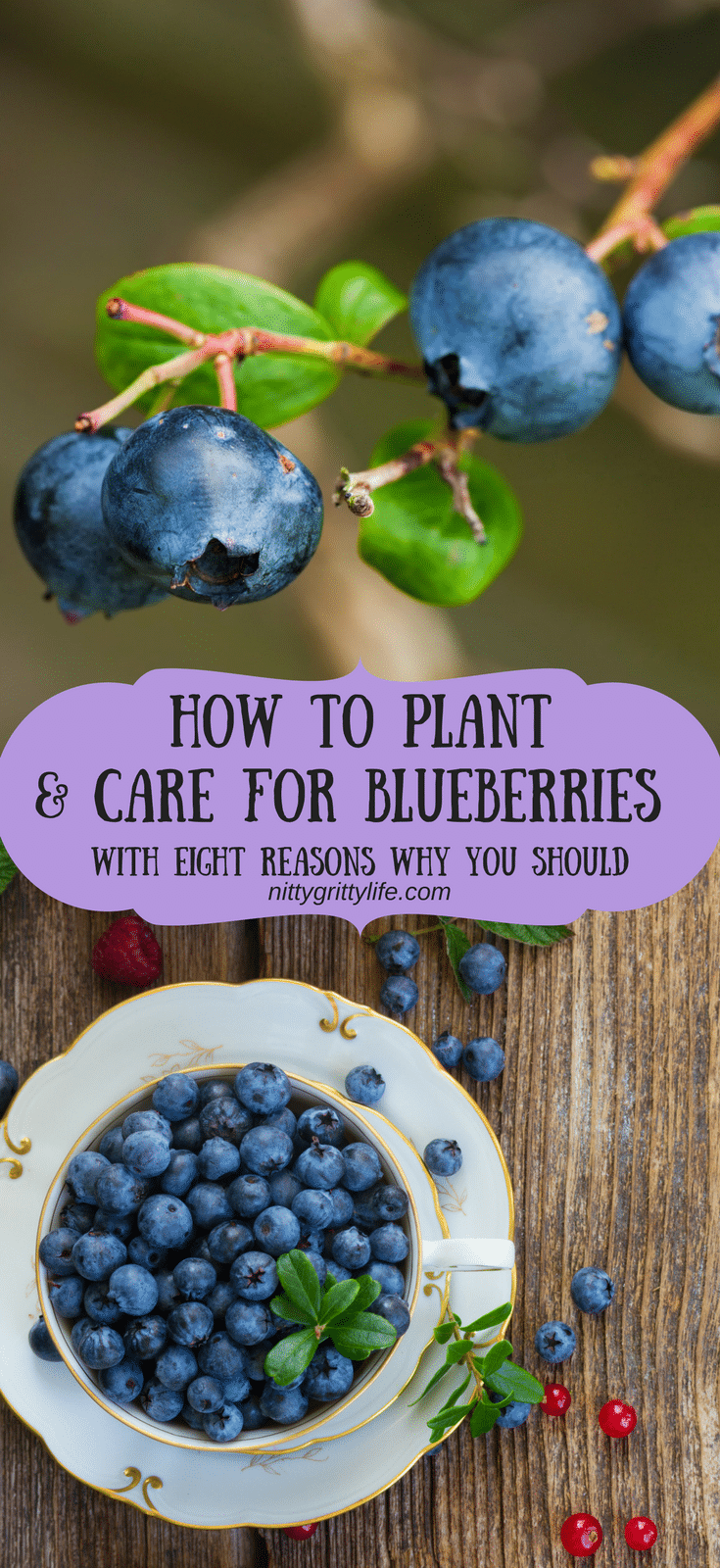 Blueberries are a summertime treat from which the harvests pay dividends all year long by way of tasty treats. Learn how to plant and care for blueberries and get some tasty recipes for baked goods, jams, and syrups! #blueberries #growingblueberries #blueberryrecipes #howtogrowblueberries