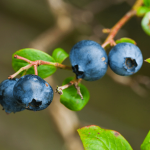 How to Plant & Care for Blueberries with Eight Reasons Why You Should