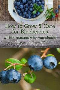 How to Grow & Care For Blueberries pin