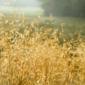 Growing, foraging and harvesting oats can reward you with an abundance of milky oats, oatstraw and oat seeds for all you medicinal and food needs!