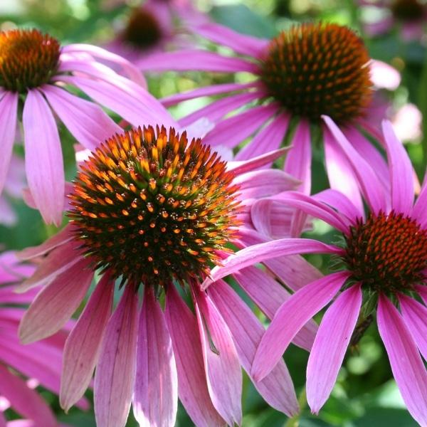 echinacea -antiviral herbs