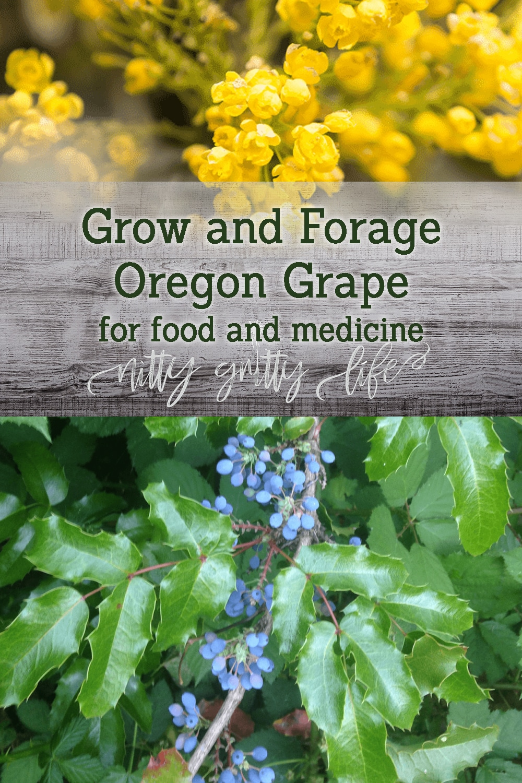 How to Grow and Forage Oregon Grape