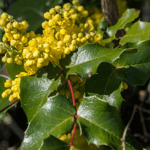 Oregon grape holly Mahonia aquifolium