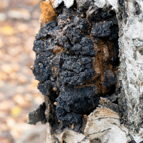 chaga for dual extraction tincture