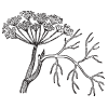 fennel illustration