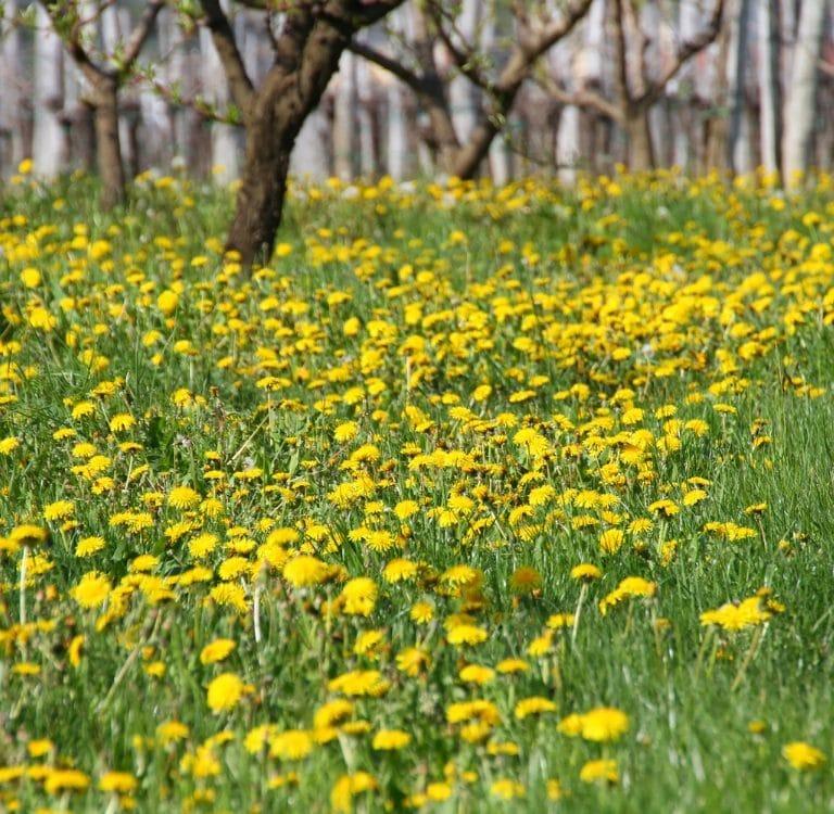 dandelion field - wild spring herbs