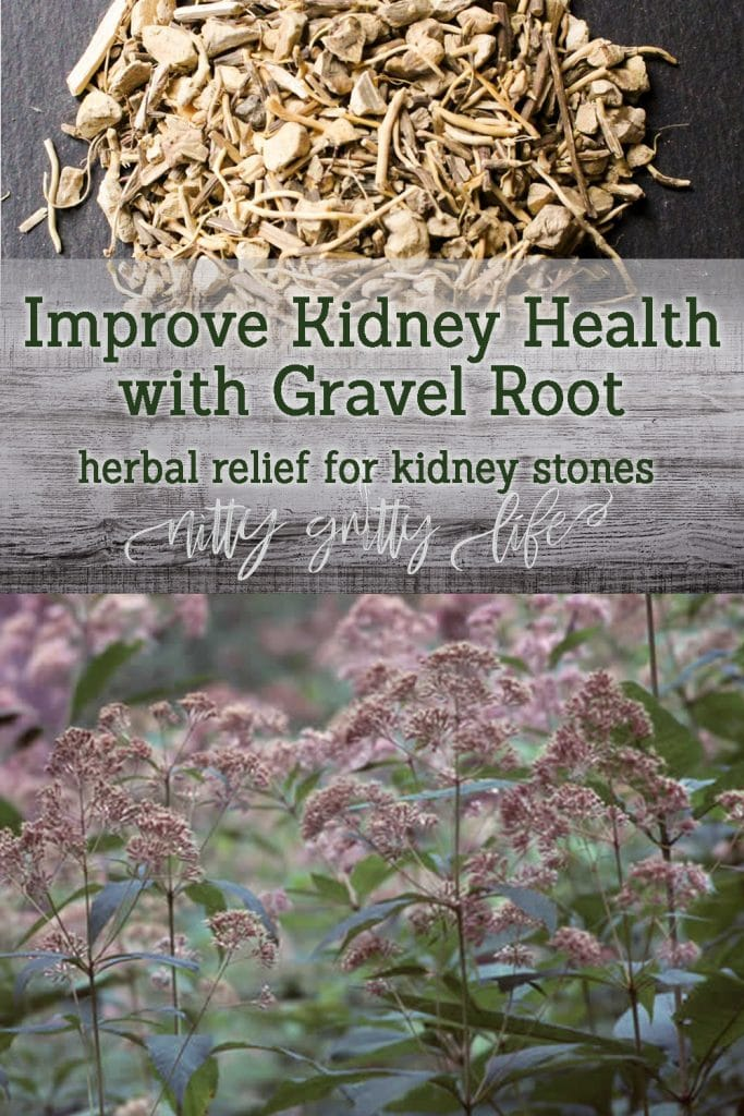 Urinary Herbs: Gravel Root for Kidney Health & Stone Relief
