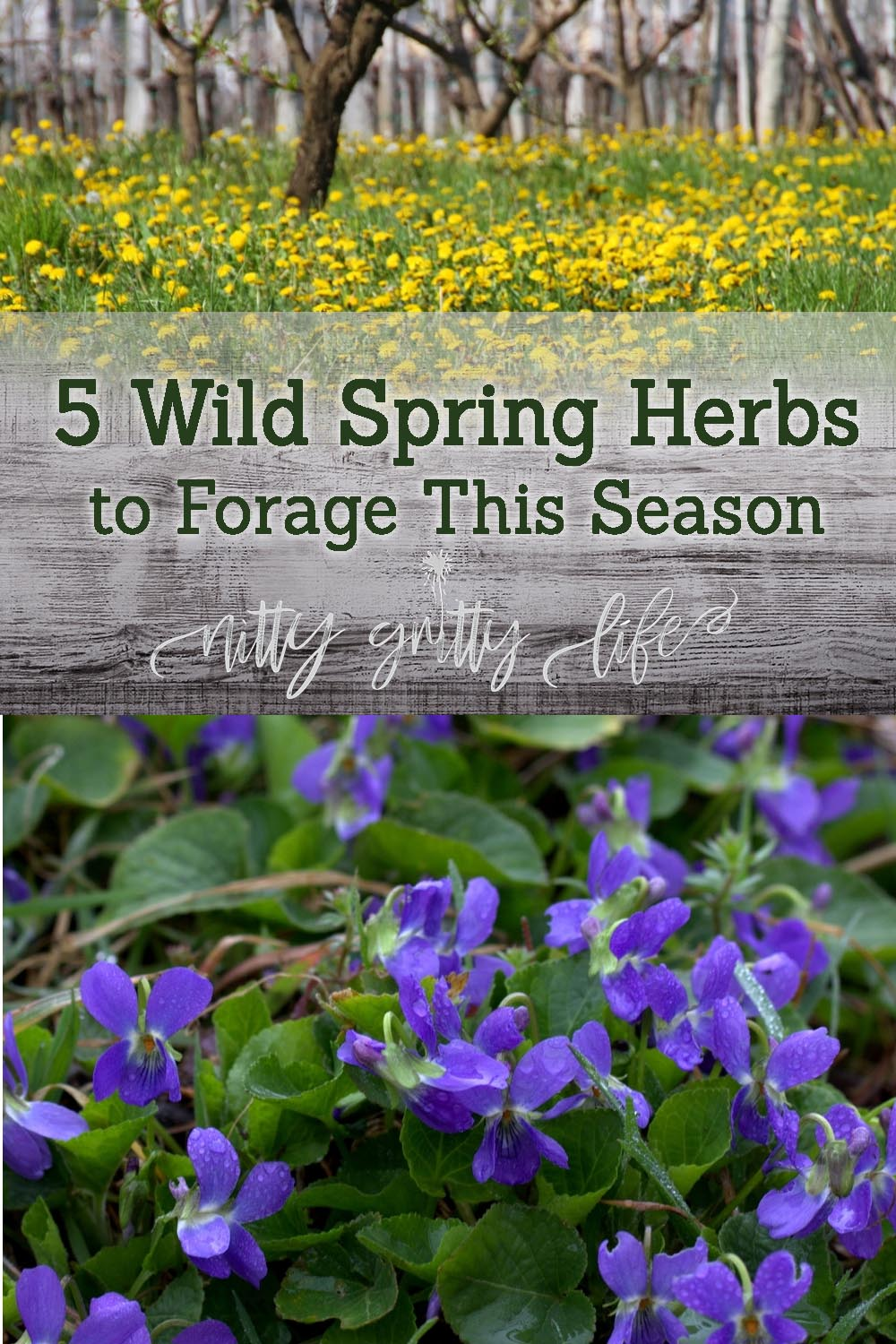 Learn how to identify and harvest five wild spring herbs for food and medicine.