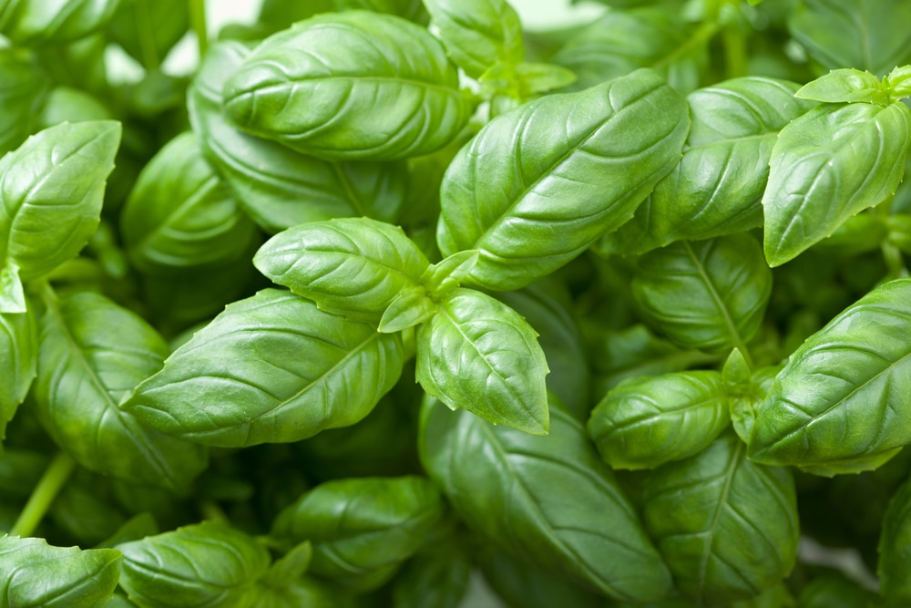 basil - plants that deter mosquitoes