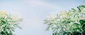 elderflower & sky