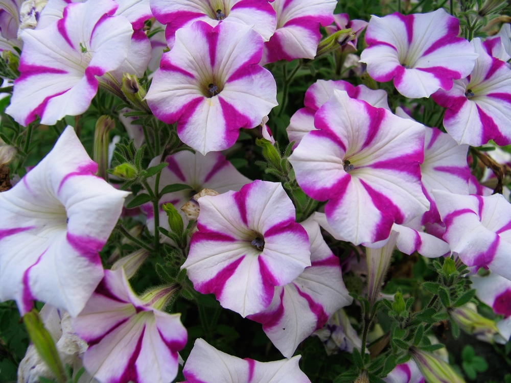 Petunias- plants that repel bugs