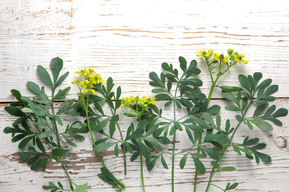 rue - plants that repel fleas