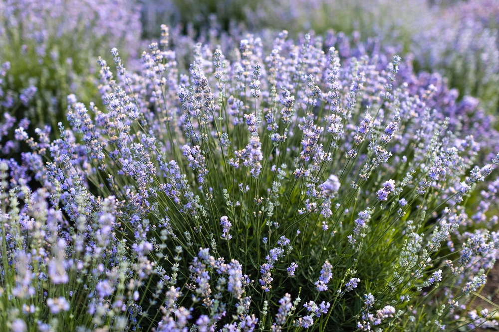 The Medicinal Uses Health Benefits Of Lavender