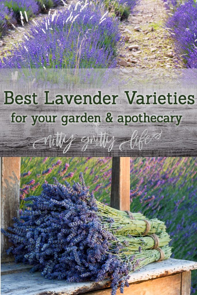 lavender varieties pin