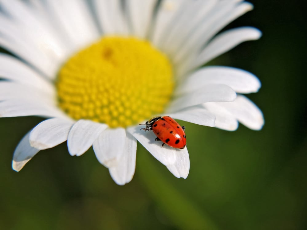 Plants that attract ladybugs to devour garden pests