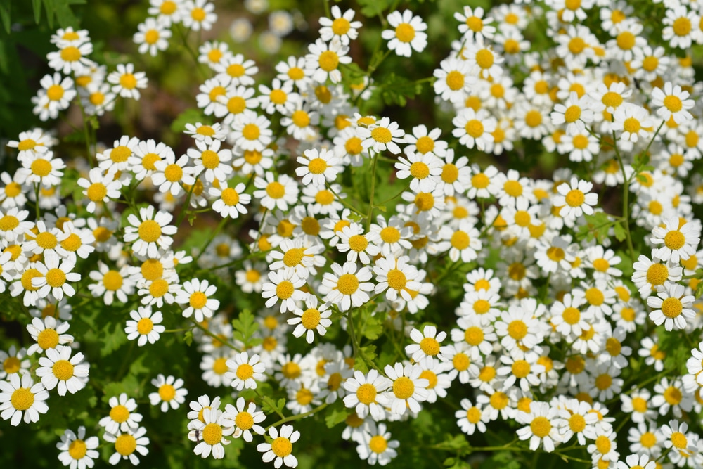 feverfew- plants that attract ladybugs