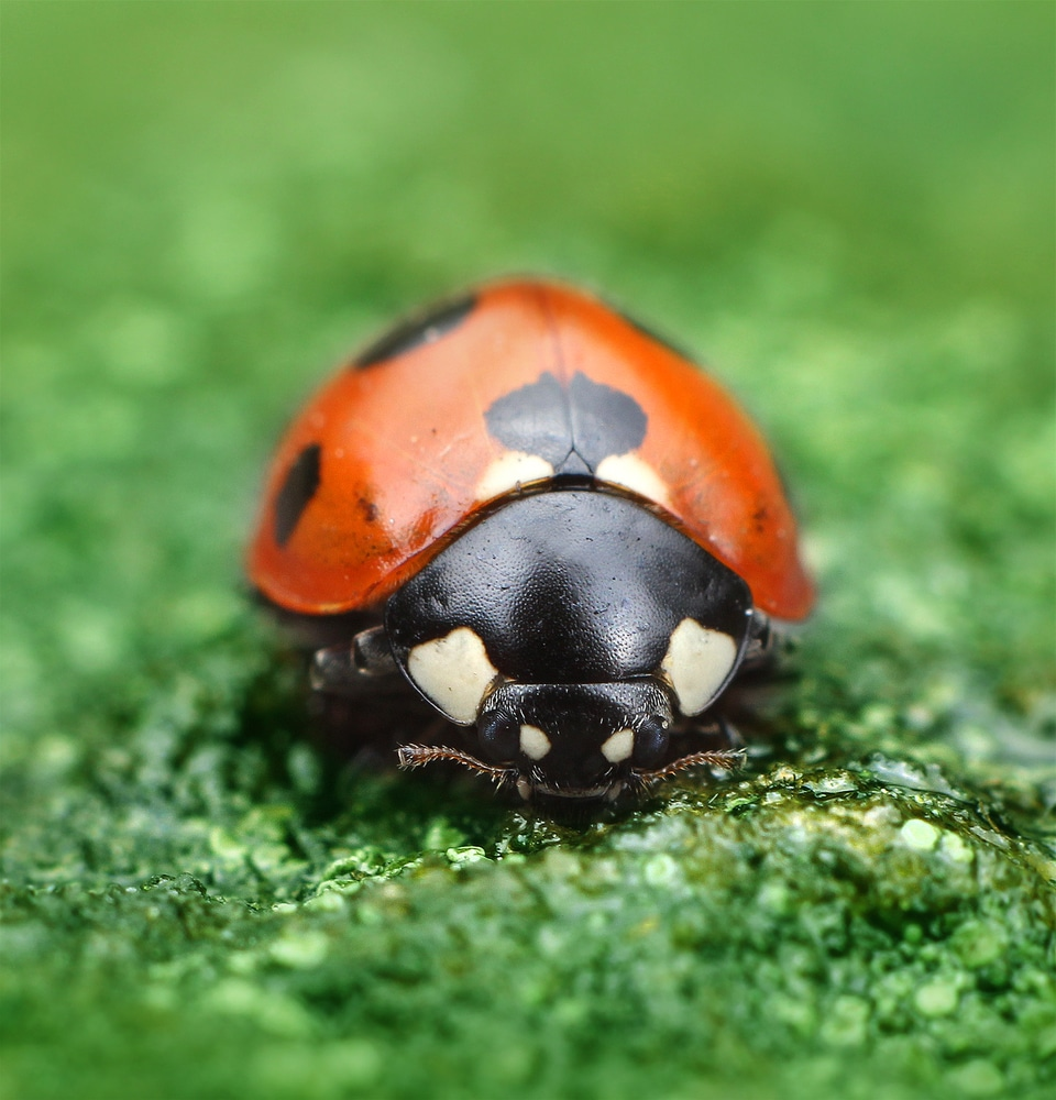 ladybugs for eating garden pests