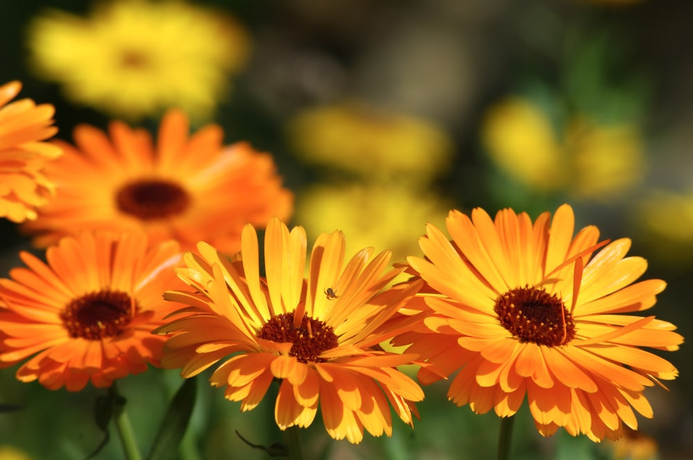 calendula - plants that attract ladybugs