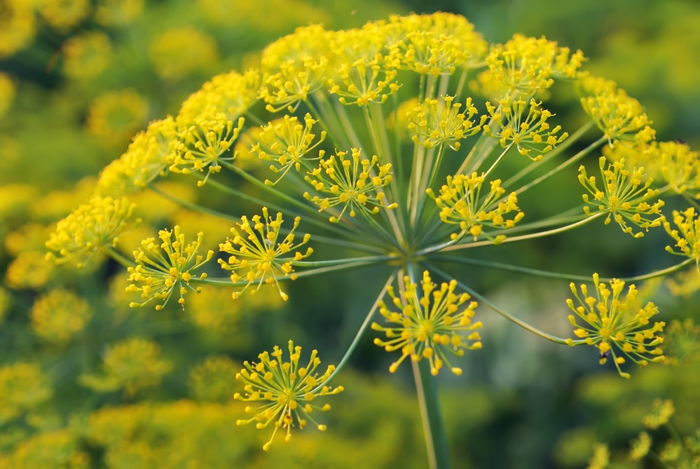 dill flower - plants that attract ladybugs