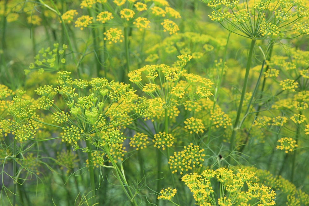 fennel blooms - plants that attract ladybugs