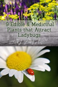 plants that attract ladybugs