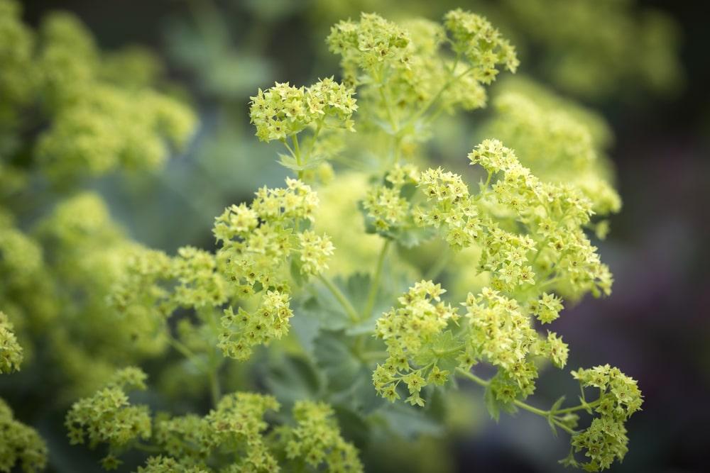 alchemilla flower