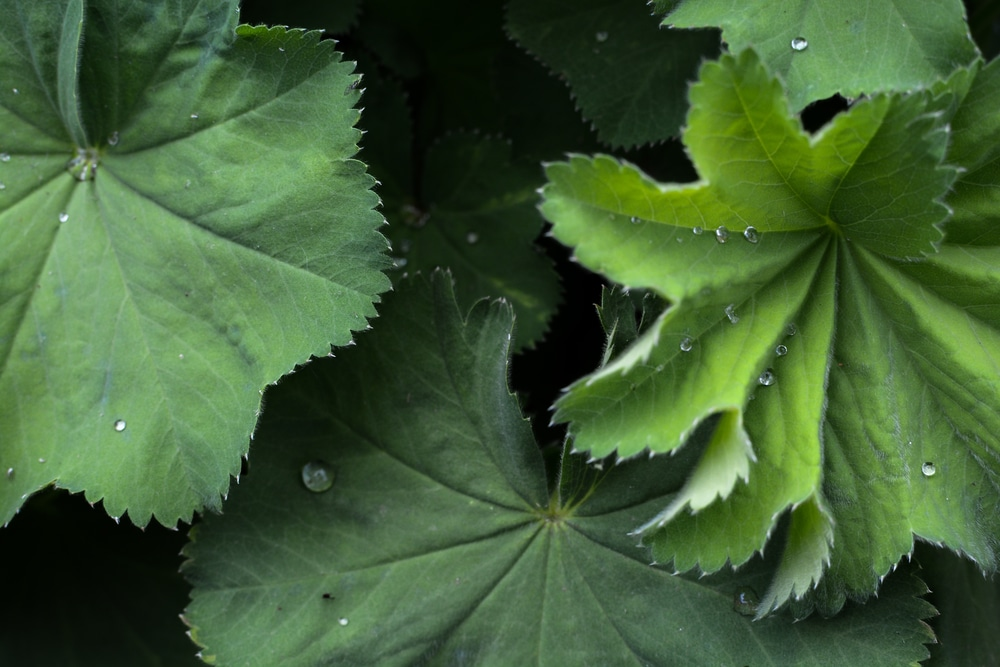 Alchemilla Mollis plant with green leaves and water droplets