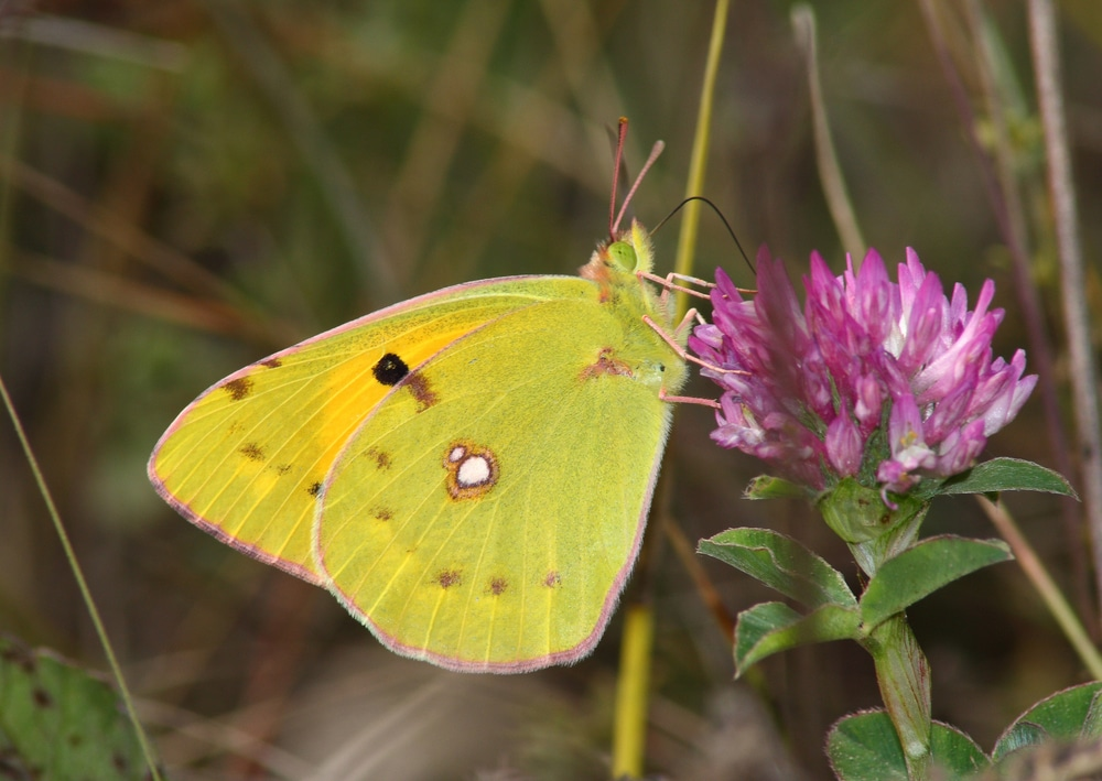 clouded sulphur butterfly on red clover