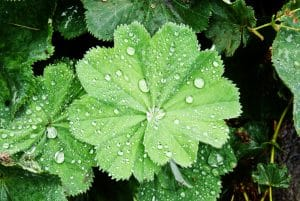 lady's mantle leaves - how to grow lady's mantle