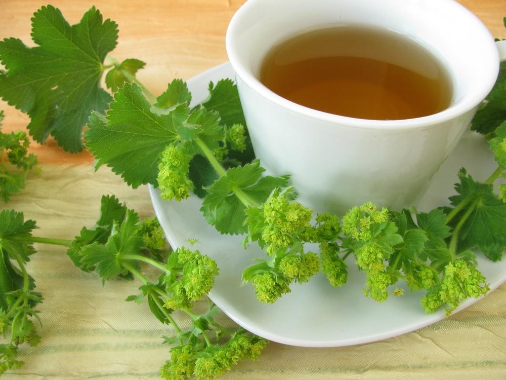 lady's mantle tea